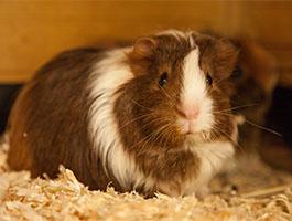 Guinea Pigs5