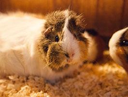 Guinea Pigs4