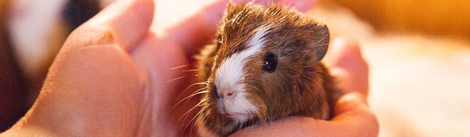 Guinea Pigs6