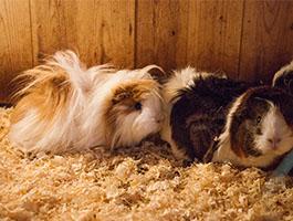Guinea Pigs1